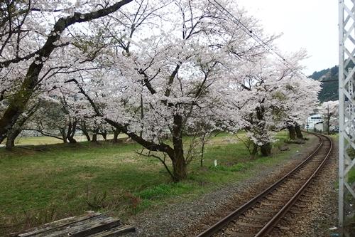 静岡(川根町・家山桜トンネル)の桜