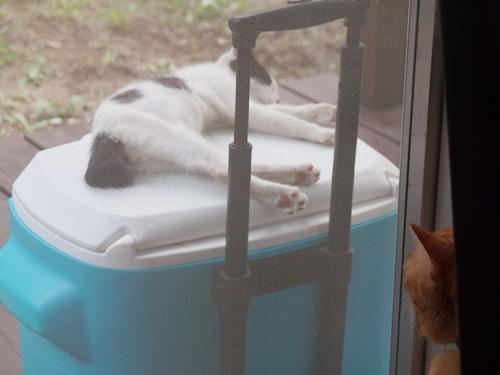 クーラーボックスの上で寝る子猫