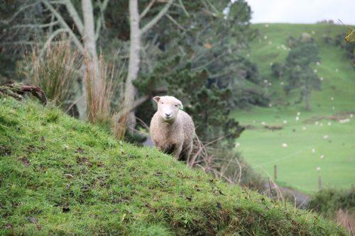 newzealand-sheep